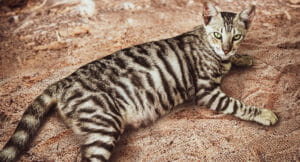 Silver Toyger