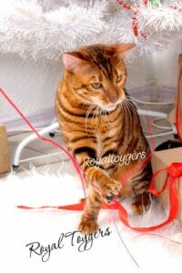 royaltoyger